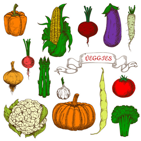 greengrocer: Organically grown ripe tomato, sweet beet, orange bell pepper and pumpkin, pungent garlic, onion and radish, fresh corn cob and pod of bean, eggplant, broccoli, asparagus, daikon and cauliflower vegetables bright vivid sketch icons. Use as agriculture des