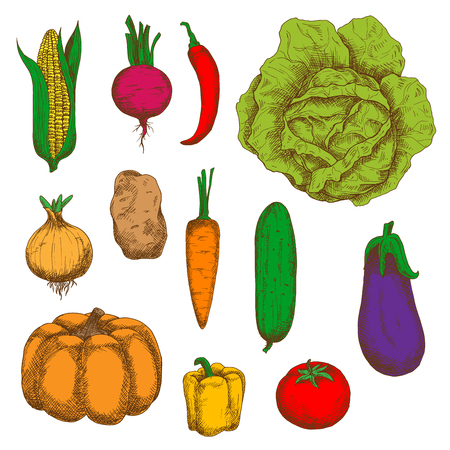 greengrocer: Organically grown fresh cabbage, carrot, potato, sweet corn, onion, chilli and bell peppers, tomato, beet, pumpkin, cucumber, eggplant vegetables vintage colorful sketches. Engraving stylized vegetable icons for old fashioned recipe book, greengrocer mark