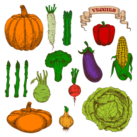 greengrocer: Vintage engraving autumnal harvest pumpkin, eggplant, cob of sweet corn, bell pepper, pungent onion, beet, cabbage, broccoli, bunches of asparagus, daikon and kohlrabi vegetables sketches. Great for old fashioned recipe book or agriculture concept design