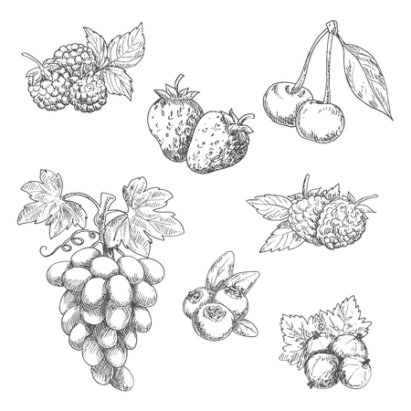 flavorful: Flavorful fresh garden strawberries, grape vine with tendrils and bunch of ripe grapes, raspberries, cherries, blackberries, gooseberries and blueberries fruits sketches in engraving style. Great for kitchen interior or vegetarian dessert menu design usag