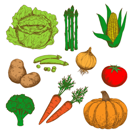 greengrocery: Autumn harvest of orange pumpkin and carrots, juicy red tomato, sweet corn and green peas, healthful onion and broccoli, ripe potatoes, cabbage and asparagus vegetables retro sketch icons. May be use as old fashioned menu or recipe book design