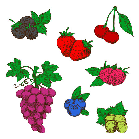 purple grapes: Flavorful wild forest and garden fruits sketch symbols with ripe red strawberries, raspberries and cherries, blueberries, purple grapes, blackberries and green gooseberries. Retro stylized berries for fruit dessert recipe or agriculture design usage