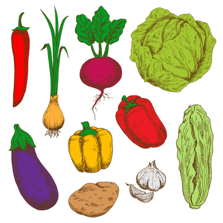 sappy: Sketchy fresh green cabbages, red and orange bell peppers and hot spicy chili, green onion with sappy leaves, sweet juicy purple beet with haulms, ripe potato, violet eggplant and pungent garlic vegetables. Agriculture harvest, organic farming and recipe