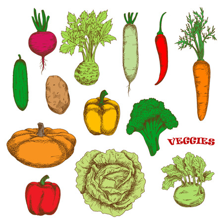 veggies: Bright yellow and red bell peppers, orange carrot and pumpkin, green broccoli, cucumber and cabbage, kohlrabi and celery, purple beet and hot red chili pepper, ripe potato and daikon vegetables. Colorful sketched veggies for organic farming design Illustration