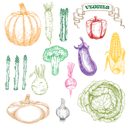 wholesome: Wholesome and fresh eggplant, sweet yellow corn cob and red bell pepper, green broccoli and cabbage, asparagus and kohlrabi, zesty radishes and garlic, orange pumpkin and patty pan squash vegetables colored sketch