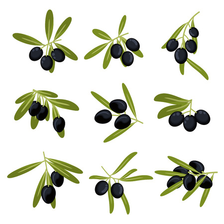 oil crops: Organically grown olive fruits icons for olive oil packaging or peace symbol design with fresh green leafy branches with ripe large black olives