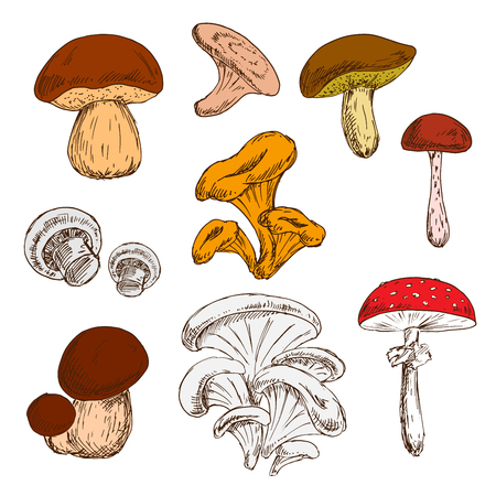 cep: Ripe fresh king bolete and champignons, wild forest chanterelles, porcini and boletus, tree oysters and cep, poisonous amanita mushrooms sketch symbols. Great for vegetarian recipe or guide book design usage Illustration