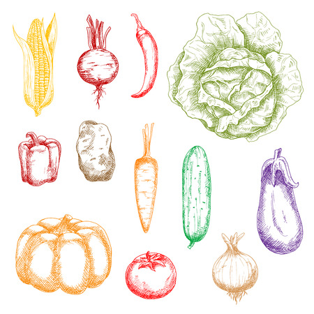 sweet corn: Autumnal ripe vegetables colored sketch icons for organic farming design with orange pumpkin and carrot, sweet corn, bell pepper and beet, tomato and potato, cayenne pepper and eggplant, onion, cabbage and cucumber