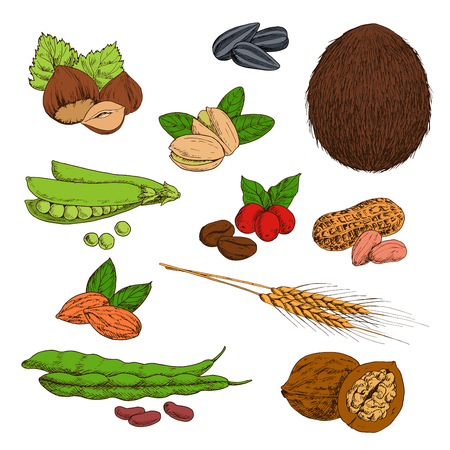 common bean: Fresh and dried nuts, beans, seeds and cereals sketches of peanuts and hazelnuts, coffee and walnuts, pistachios and almonds, wheat ears, sunflower seeds and coconut, pods of green peas and common bean