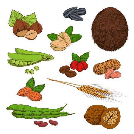 Verse en gedroogde noten, bonen, zaden en granen schetsen van pinda's en hazelnoten, koffie en walnoten, pistachenoten en amandelen, tarwe oren, zonnebloempitten en kokos, peulen van groene erwten en gewone boon