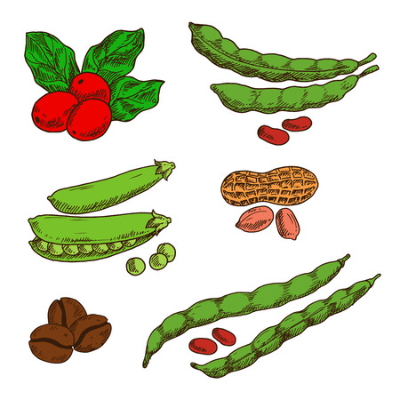 healthful: Healthful and nutritious peanuts, green pods and grains of sweet peas and common beans, fresh red fruits and roasted beans of coffee. Sketch symbols for food and drinks design usage Illustration