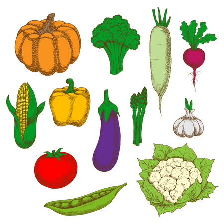 bell tomato: Dietary vegetables sketches for healthy eating design with fresh tomato, eggplant and broccoli, corn, bell pepper and pumpkin, peas and cauliflower, daikon and asparagus, garlic and beet