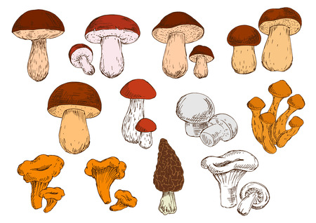 cep: Vegetarian edible brown cap boletus and cep, white champignons and orange chanterelles, birch and pine boletes, porcini, honey agarics and black morel mushrooms sketch icons. Healthy eating design