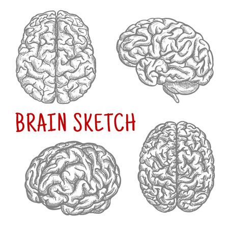 ilustracion: Esbozo de símbolos de cerebro con ilustraciones de grabado del cerebro humano anatómicamente detallado en diferentes ángulos. Grande para el intelecto y la mente concepto o camiseta, el uso del diseño de impresión