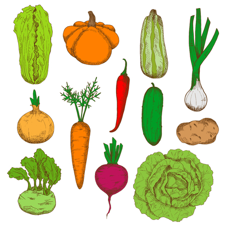 napa: Healthy and nourishing potato, pumpkin and beet, onions and kohlrabi with fresh leaves, green cucumber, zucchini and cabbages, juicy carrot and spicy red chili pepper vegetables sketches. Fresh harvested veggies for agriculture design