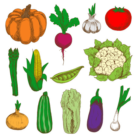 napa: Ripe and fresh tomato, eggplant, onions and pumpkin, sweet corn and peas, garlic, zucchini and beet, cauliflower, asparagus and chinese cabbage vegetables colored sketch icons. Organic farming design Illustration