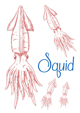 tentacles: Engraving sketch drawings of red greater hooked squid with detailed mantle, fins and tentacles. Great for underwater wildlife symbol or t-shirt print design
