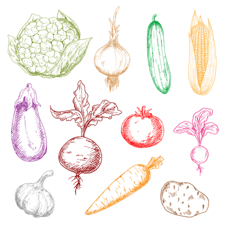 sweet corn: Healthy multicolored vegetables sketch icons with sweet corn and beet with leaves, ripe tomato, potato and eggplant, tangy onion, radish and garlic, juicy carrot, cucumber and cauliflower
