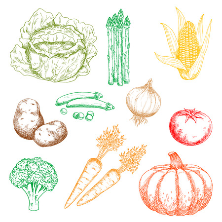 pungent: Ripe autumnal sweet orange pumpkin and carrots, green pods of peas, cabbage, broccoli and bundle of asparagus, yellow corn cob and pungent onion, tasty red tomato and potato vegetables isolated sketch icons