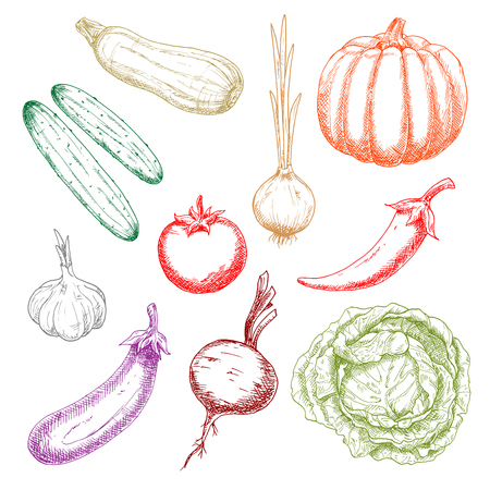 pungent: Ripe autumnal pumpkin and tomato, green crunchy cabbage and cucumbers, onion and eggplant, sweet juicy beetroot and zucchini, pungent garlic and chili pepper sketches. Agriculture harvest design usage Illustration