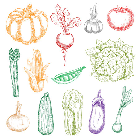 pungent: Fresh harvested ripe pumpkin and tomato, green peas and striped zucchini, crunchy cauliflower, chinese cabbage and asparagus, pungent onions and garlic, sweet corn and beetroot with leaves vegetables sketch icons