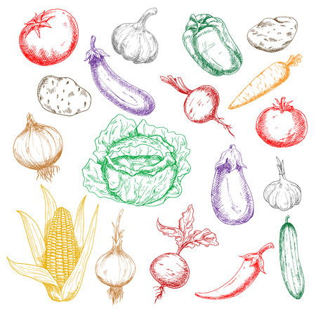 spicy chilli: Fresh sweet corn and beetroots, bell pepper and carrot, tomatoes, eggplants and potatoes, green cabbage and cucumber, spicy chilli pepper and heads of garlics colored sketches for recipe book design