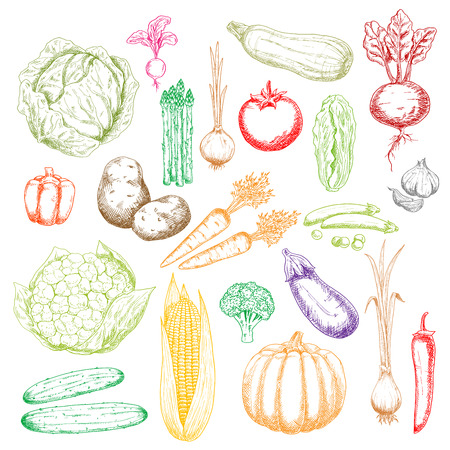 in peas: Fresh green cabbages, peas and cucumbers, cauliflower, asparagus and broccoli, red tomato, beet, peppers and radish, orange pumpkin, carrots and onions, corn cob, zucchini and garlic, potatoes and eggplant vegetables sketch icons Illustration