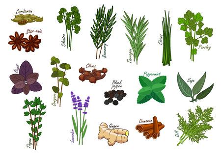 Spice i kuchnia zioło, przyprawa. Kardamon i anyż, kolendra i kolendra, rozmaryn, estragon, szczypiorek, pietruszka, bazylia i oregano, pieprz czarny i mięta, szałwia i tymianek, lawenda lub lavandula i imbir, cynamon i koperkiem