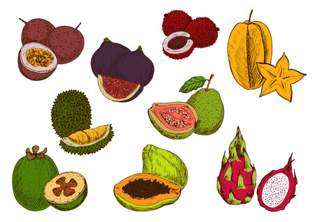 guava fruit: Tropical papaya, star fruit, feijoa, dragon fruit, guava, passion fruit, lychee, fig and durian fruits sketches. Fresh exotic fruits for cocktail menu or greengrocery market design