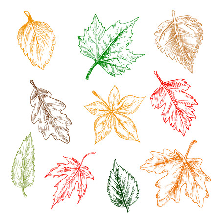 oak trees: Leaves of trees and plants set. Pencil sketch vector isolated leaf icons of oak, maple, birch, aspen, chestnut, elm, poplar Illustration