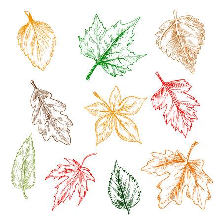 aspen leaf: Leaves of trees and plants set. Pencil sketch vector isolated leaf icons of oak, maple, birch, aspen, chestnut, elm, poplar Illustration