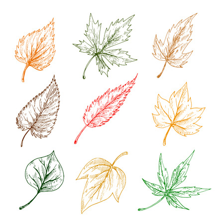 aspen leaf: Leaves of trees and plants. Pencil sketch vector leaf icons of maple, birch, aspen, chestnut, elm, poplar Illustration