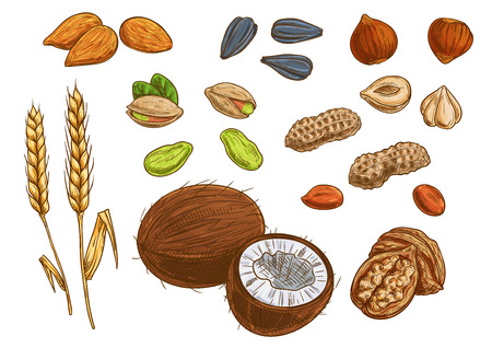 walnut: Nuts, grain and kernels. Sketch vector icons of wheat, almond, pistachio, coconut, sunflower seeds, peanut hazelnut walnut Illustration