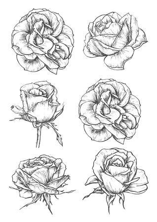 Blooming rose sketches of luxurious flower and tight bud with thorny stem and carved leaf. Greeting card, t-shirt print or tattoo design