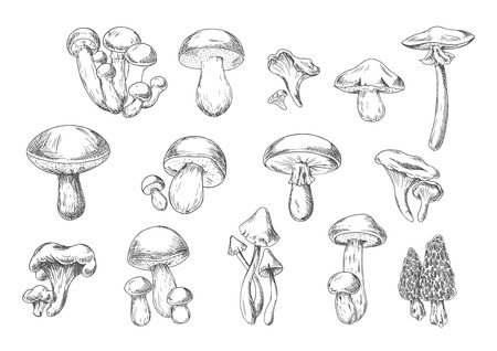 cep: Forest mushrooms sketch of edible chanterelle, king bolete, honey agaric, portobello, porcini, morel, cep and poisonous death cap and amanita muscaria mushrooms. Recipe book, healthy food design