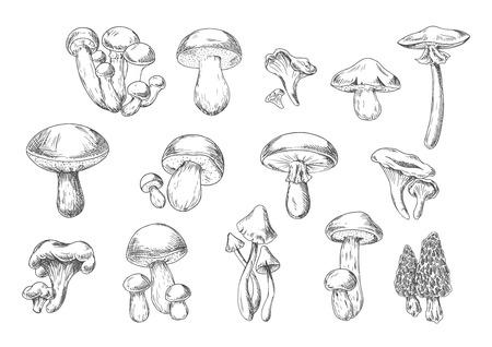 Funghi della foresta schizzo di commestibile Gallinaccio, re porcini, miele agarico, portobello, porcini, spugnole, porcini e velenosi cap morte e muscaria Amanita funghi. Ricettario, disegno cibo sano Vettoriali