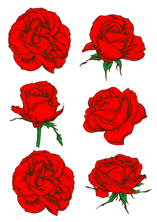 rose garden: Red rose icons with blooming flowers and buds of garden tea rose isolated on white. Floral decor for invitation, greeting cards and tattoo design