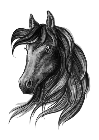 pencil drawing: Horse head pencil sketch portrait. Black mustang with mane on white background
