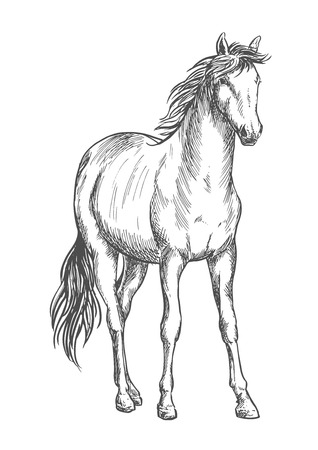 hoofs: Beautiful white horse standing. Pencil sketch portrait of stallion with wavy mane, tail, hoofs