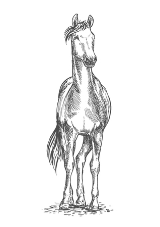 hoofs: Standing white horse pencil sketch portrait. Stallion on hoofs with mane and tail waving in wind and looking into distance