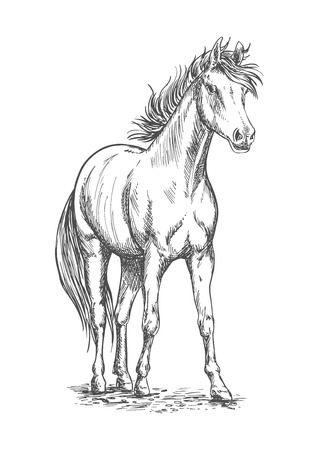filly: Racehorse sketch of arabian horse stallion with muscular chest, long mane and tail. Horse racing symbol, equestrian sporting competition theme design