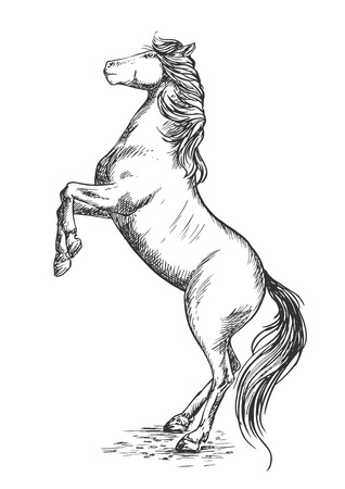 hind: White horse rearing on hind hoofs sketch vector portrait. Trained mustang stallion perfoms on its rears