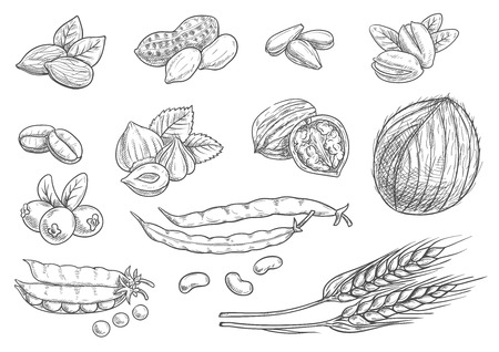pea pod: Nuts, grain, berries black pencil sketch on white background. Isolated vector icons of coconut, almond, pistachio, sunflower seeds, peanut, hazelnut, walnut, coffee beans, wheat ears, coffee beans pea pod berries Illustration