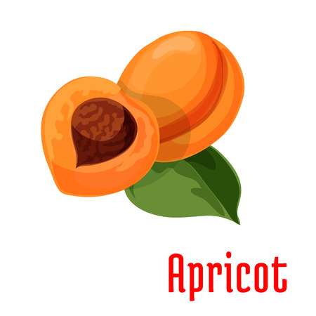 fruit stem: Apricot. Fresh juicy fruit isolated on stem with leaves. Botanical style product emblem for juice sticker design element, jam label, packaging tag, grocery shop, farm store decoration