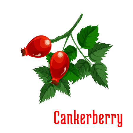 fruit stem: Cankerberry fruit. Isolated bunch of red fruits of dog-rose on stem with leaves. Botanical product emblem for juice or jam label, packaging sticker, grocery shop tag, farm store