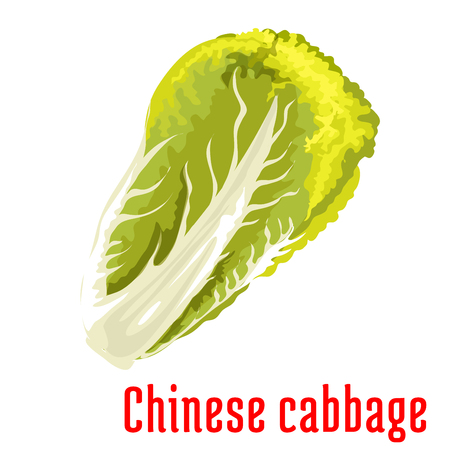 isolated ingredient: Chinese cabbage. Napa vegetable icon. Isolated leafy salad ingredient. Vegetarian fresh product sign for sticker, grocery shop, farm store element