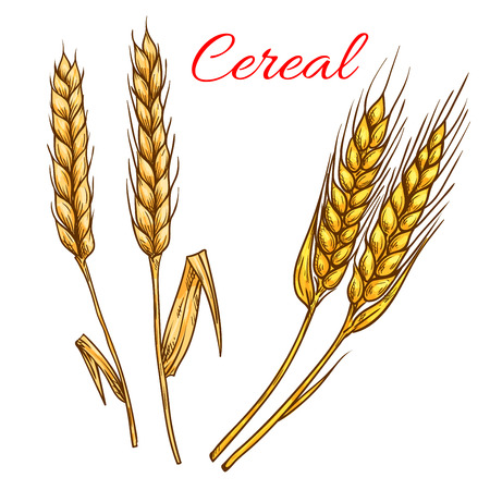 Cereal wheat, barley, rye ears isolated vector icons. Vector sketch grain plants for product label, packaging sticker, grocery shop tag, bakery design elements