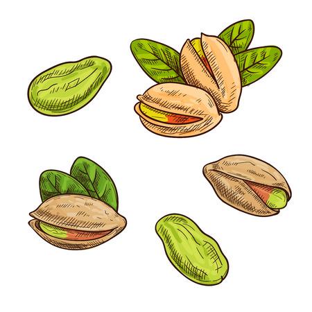 Pistachenoten. Geïsoleerd geheel en split pistache noten en pitten. Vector schets pistache element etiket, verpakking sticker, kruidenier tag, boerderijwinkel