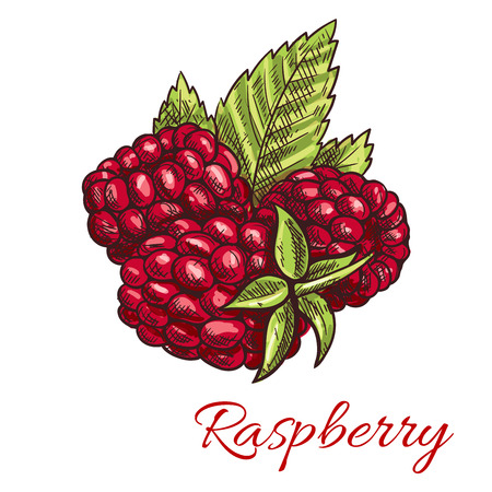 raspberry: Raspberry fruit sketch with sweet juicy red berries and green leaves. Agriculture theme, healthy vegetarian dessert, food and juice packaging design