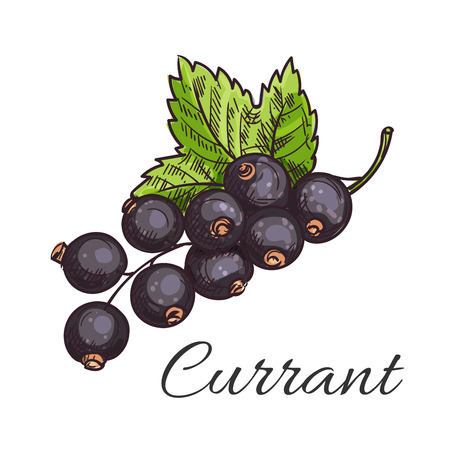 currants: Black currant fruit sketch icon of branch with cluster of ripe berries and green leaf. Healthy natural vitamin, vegetarian dessert, food packaging design